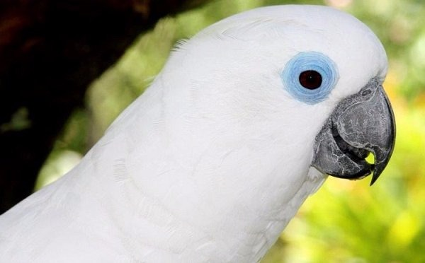 Cacatúas-de-ojos-azules