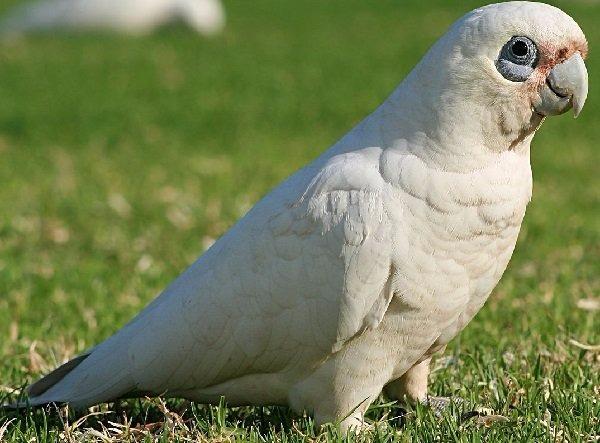 Cacatúas-de-ojos-descubiertos-pequeñas-corelas