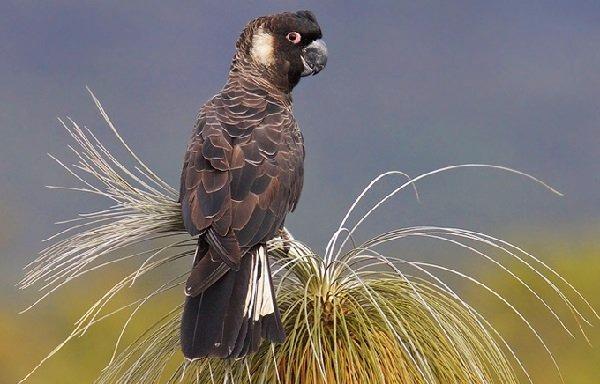 Cacatúas-negras-de-pico-corto