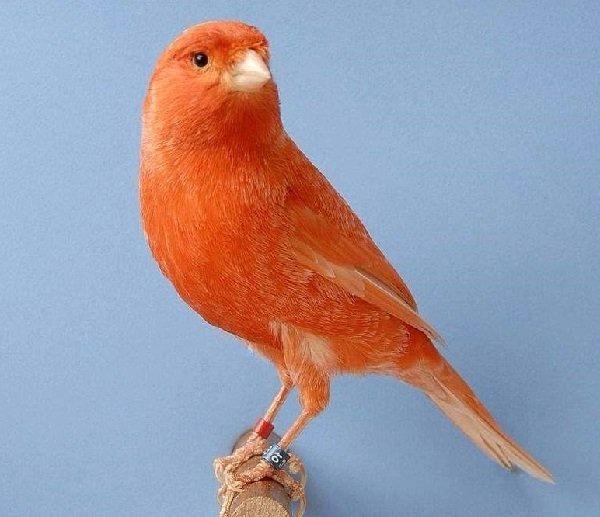 Canario-rojo
