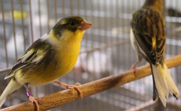 Canarios-Cantantes-Americanos