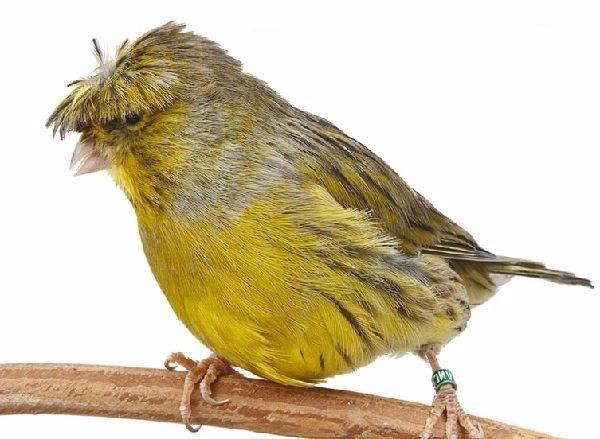 Canarios Clases Tipos Especies Alimentación Mascotas