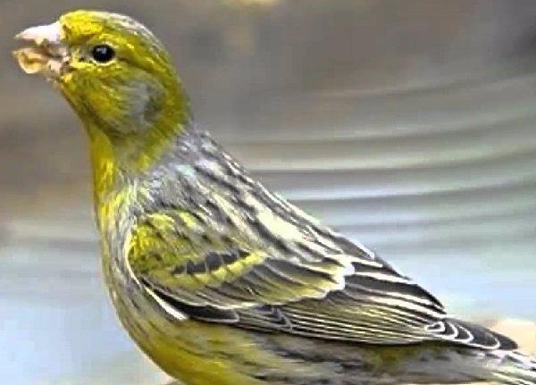 Canarios-españoles-timbrado