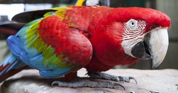Guacamayo-de-ala-verde-Ala-verde-guacamayo-rojo-verde