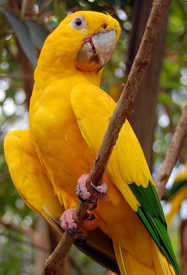 Guacamayo-verde-amarillo