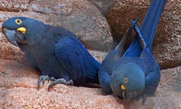 Guacamayos-azules-o-indigos