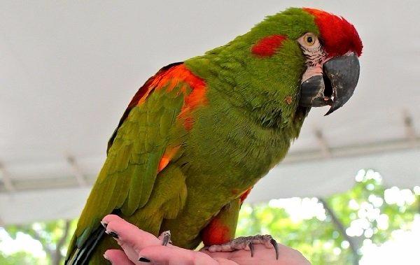 Guacamayos-de-cara-roja