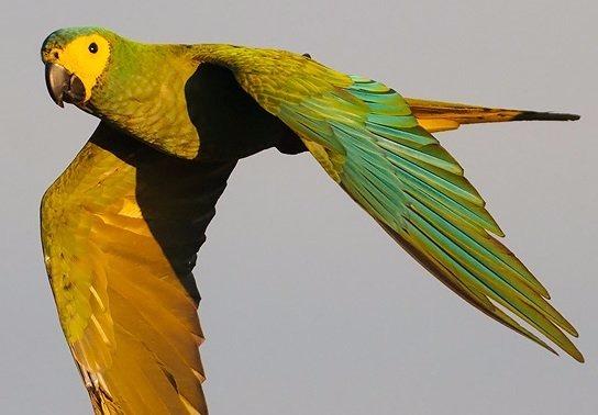 Guacamayos-de-vientre-rojo