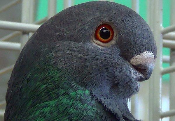 Paloma-búho-africano