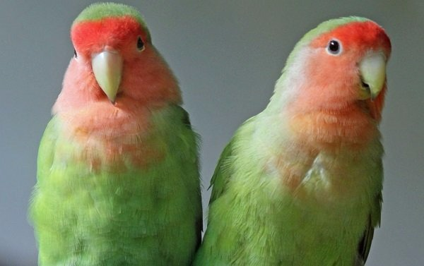 agapornis-cara-roja
