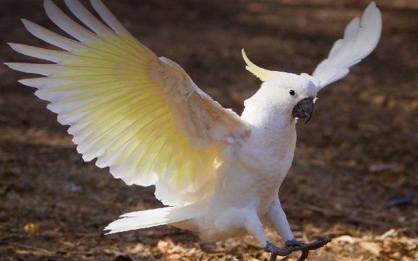 cacatúa-en-pleno-vuelo