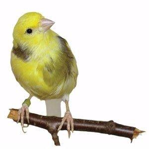 clases-de-canarios