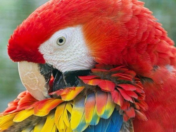 guacamayo-rojo-cubano
