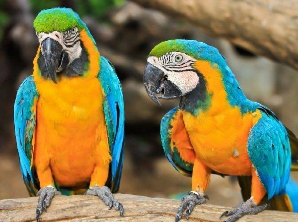 guacamayos-azul-amarillos-dorados