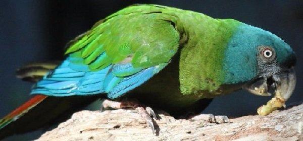 guacamayos-de-cabeza-azul