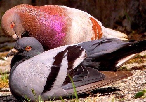 palomas-reproducción
