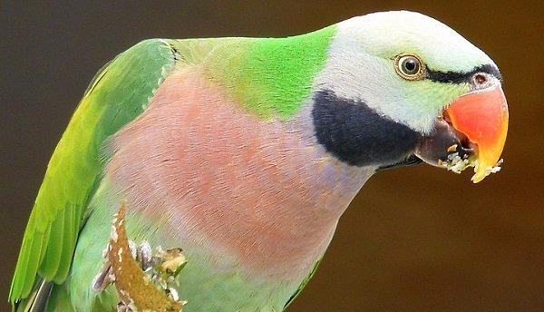periquito-bigotudo