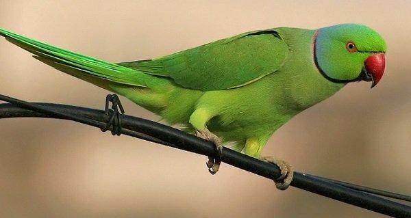 periquitos-de-anillo-rosado