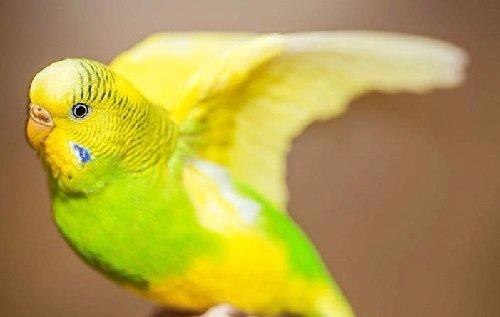 plumaje-del-periquito