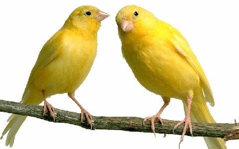 tipos-de-canarios