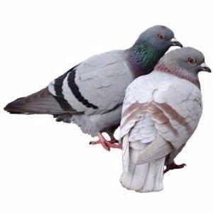 tipos-de-palomas