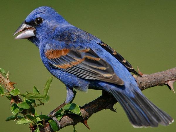 pinzon-azul-gran-pico