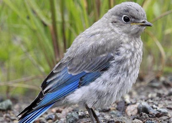pinzon-azul-montana