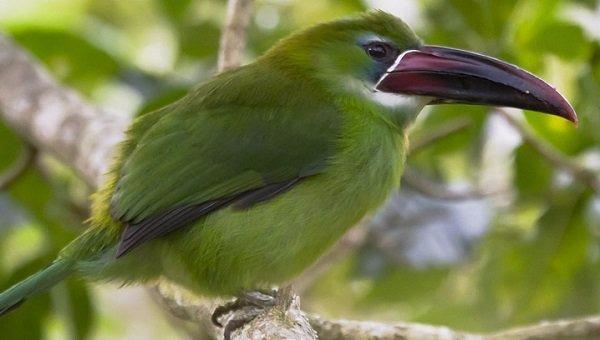 tucan-punta-castaña