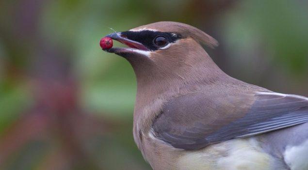 Resultado de imagen para ave frugívora