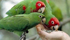 papagayos comiendo pipas